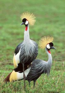 Read more about the article क्रौंच, तुरेवाला (Crowned crane)