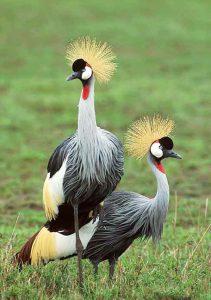 क्रौंच, तुरेवाला (Crowned crane)