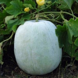 Read more about the article कोहळा (Ash Gourd)