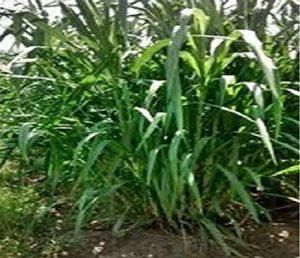 गिनी गवत (Guinea Grass)