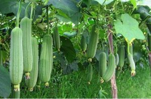 Read more about the article घोसाळे (Sponge Gourd)