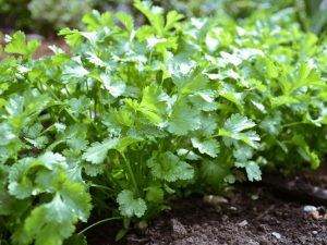 Read more about the article कोथिंबीर (Coriander)