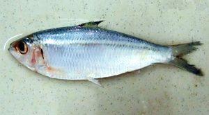 पेडवा (Sardinella fimbriata)