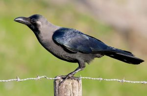 Read more about the article कावळा (House crow)