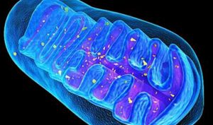 तंतुकणिका (Mitochondria)