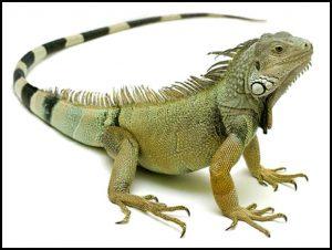 इग्वाना (Iguana)