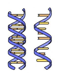 डीऑक्सिरिबोन्यूक्लिइक आम्ल (डीएनए) : पहा न्यूक्लिइक आम्ले.