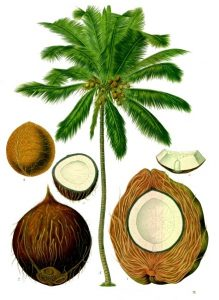 नारळ (Coconut) : पहा माड