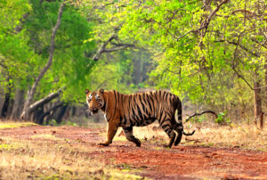 Read more about the article ताडोबा-अंधारी अभयारण्य (Tadoba-AndhariWildlife Sanctuary)