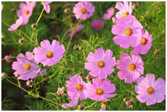 Read more about the article कॉसमॉस (Cosmos bipinnatus)