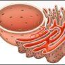 अंतर्द्रव्य जालिका (Endoplasmic Reticulum)