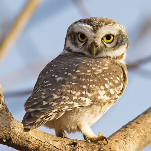 पिंगळा (Owlet)