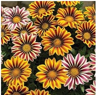 Read more about the article गेझनिया (Gazania)