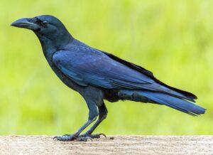 डोमकावळा (Jungle Crow)