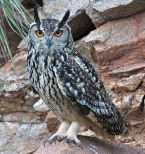 शृंगी घुबड (Horned owl)