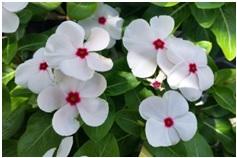 सदाफुली (Vinca rosea)