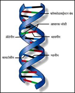 डीऑक्सिरायबोन्यूक्लिइक अम्ल (डीएनए) [Deoxyribonucleic acid (DNA)]