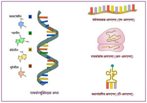 Read more about the article रायबोन्यूक्लिइक अम्ल (आरएनए)  [Ribonucleic acid (RNA)]