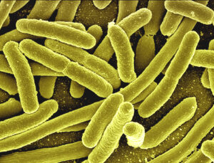 प्रातिनिधिक सजीव : एश्चेरिकिया कोलाय  (Model Organism : Escherichia coli)