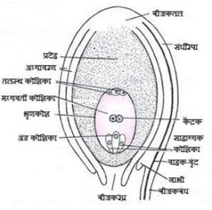 बीजक (Ovule)