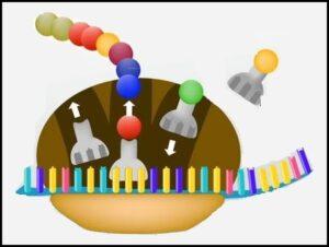 प्रथिन संश्लेषण (Protein Synthesis)