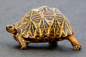 Read more about the article भूकच्छप – जमिनीवरील कासव (Tortoise)