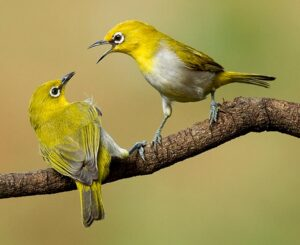 Read more about the article भारतीय चष्मेवाला पक्षी (Indian white-eye)