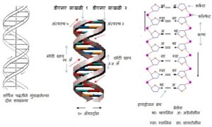 Read more about the article डीएनएच्या संरचनेचा शोध  (Discovery Of DNA Structure)