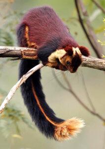 शेकरू (India giant squirrel)