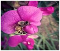 Read more about the article वाटाणातील परागीभवनाची प्रक्रिया (Pollination mechanism in Papilionaceous flowers)