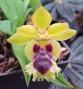 ऑर्किड फुलांतील परागीभवन (Pollination in Orchid flowers)