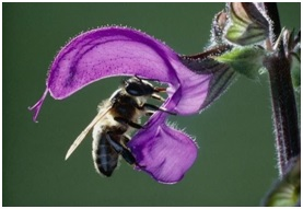 Read more about the article सेज वनस्पतीमध्ये होणारे परागीकरण (Pollination in Salvia)