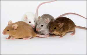 Read more about the article प्रातिनिधिक सजीव : उंदीर (Model Organism : House mouse)